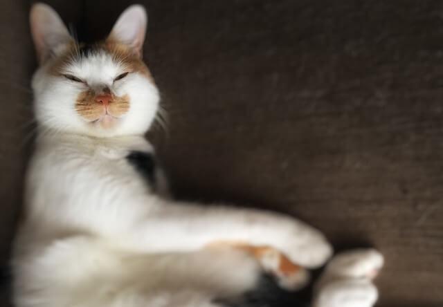 キツネ顔の三毛猫 - 猫の写真素材
