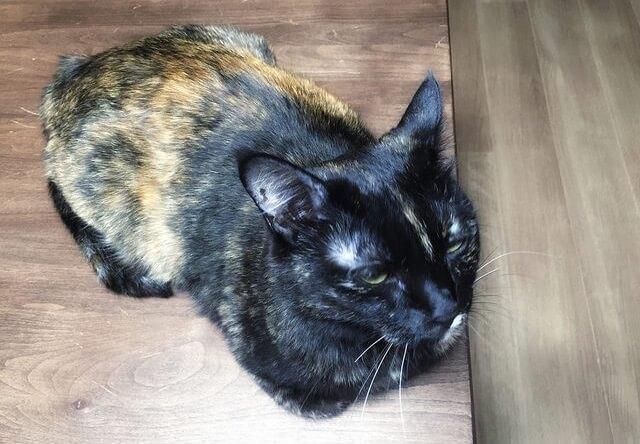 香箱座りで考え中- 猫の写真素材 | Cat Press