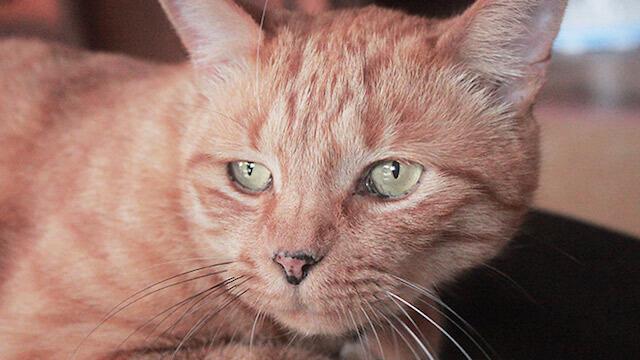 忍野村の猫
