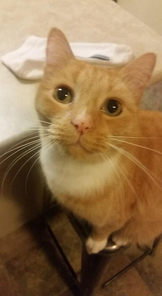 泥棒猫の茶白猫「ニンジャ」