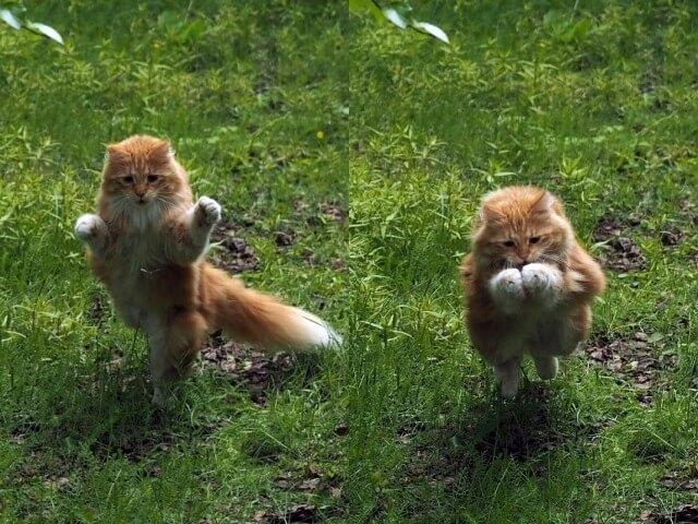 ノルウェーの猫