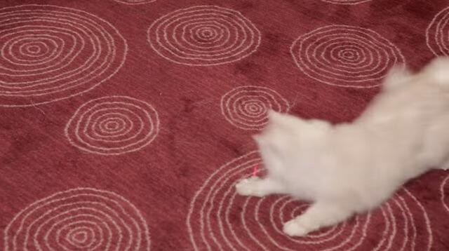 レーザーを追いかける猫