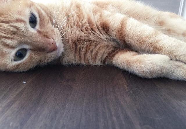 猫のモフモフした胸毛 – 猫の写真素材