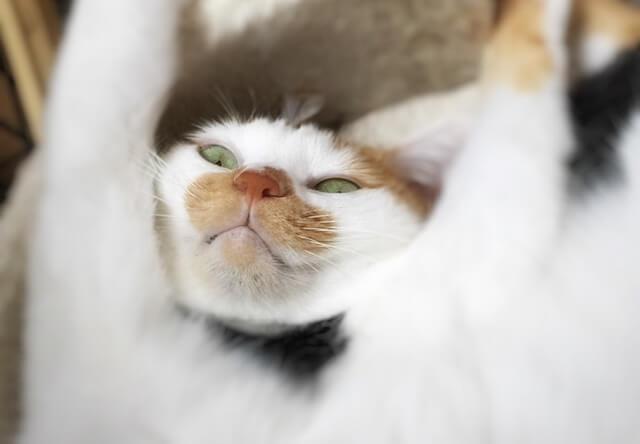 バンザイしたまま下から見下す – 猫の写真素材