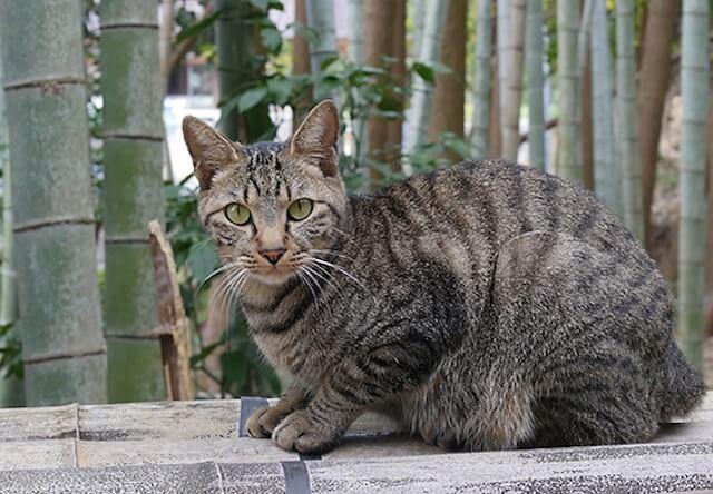 美山の竹林で暮らす猫