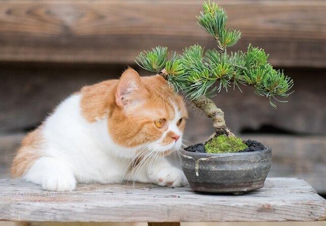 ほうほう、これはいい盆栽ですにゃ