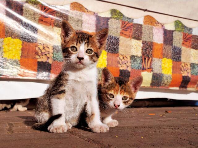 モロッコ マラケシの猫