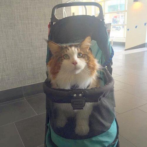 人間のベビーカーにギリギリ載れる巨大ネコのサムソン君