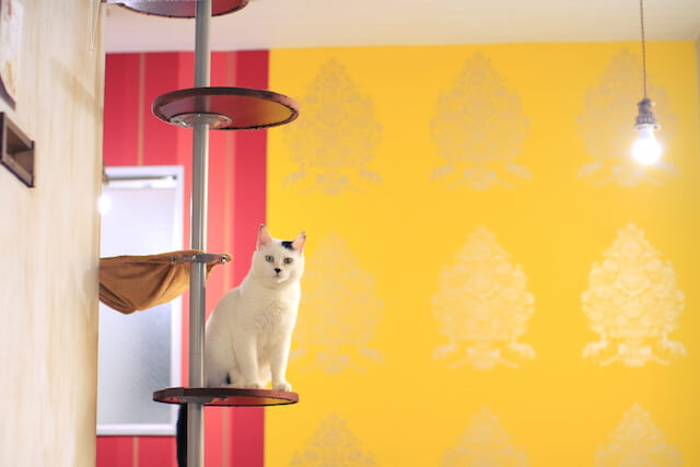 キャットタワーに座る猫エイズキャリアの猫(りんご猫)by ネコリパブリック中野店