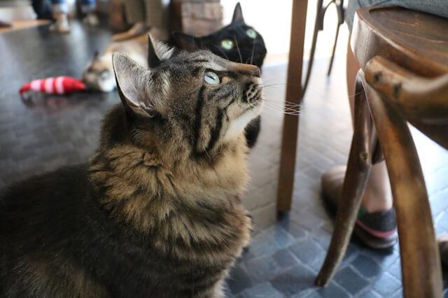 8猫カフェ「プリムローズ」の猫たち2