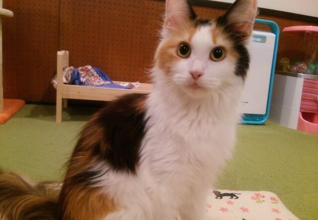 メインクーンのメス猫、「シェリー」ちゃん