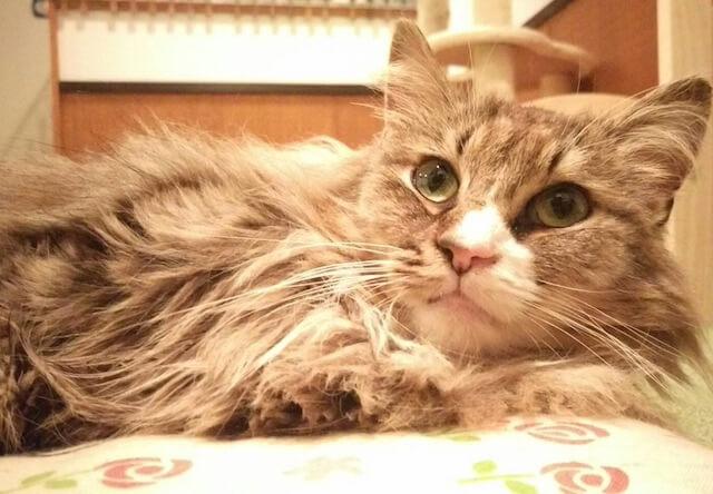 ノルウェージャンフォレストキャットのメス猫、「ポコ」ちゃん