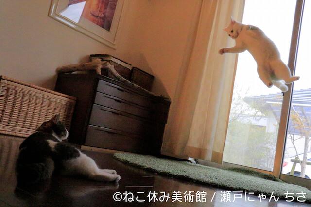 瀬戸にゃん ちさ:白猫「ミルコ」による体操選手顔負けの空中アート作品