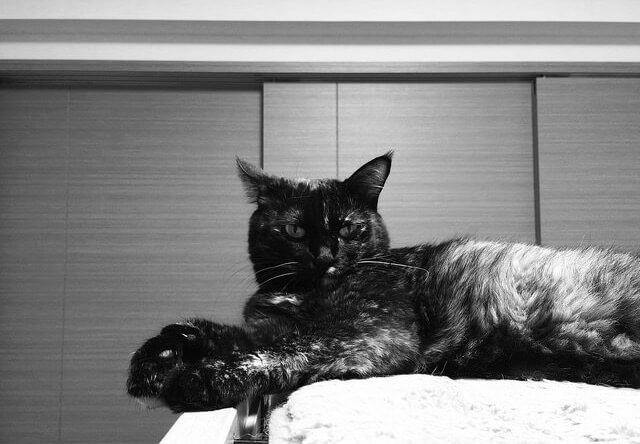 サビ猫のモノクロ写真 - 猫の写真素材
