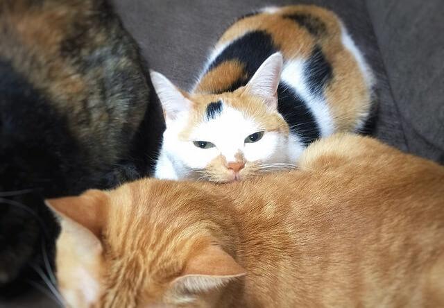 猫に挟まれて幸せそうな猫 - 猫の写真素材