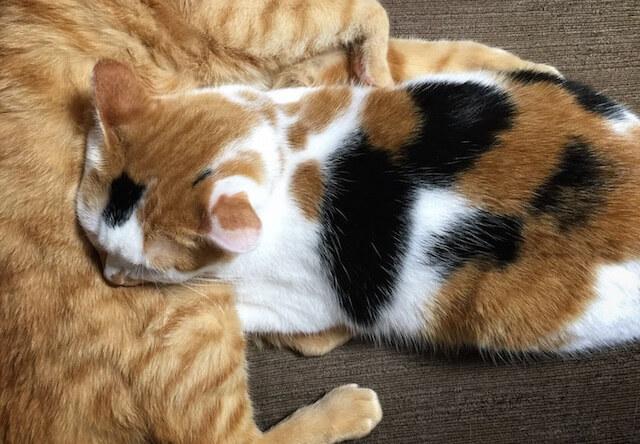 妙な体勢で一緒に寝るネコ - 猫の写真素材