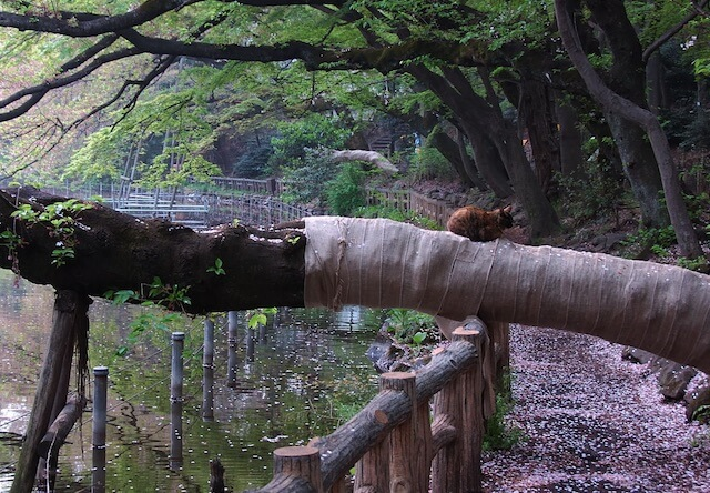 吉祥寺・井の頭公園の猫