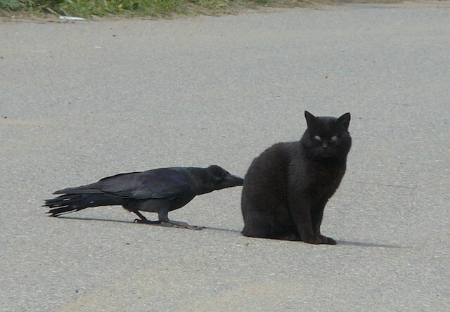黒猫とカラスの仲良し写真