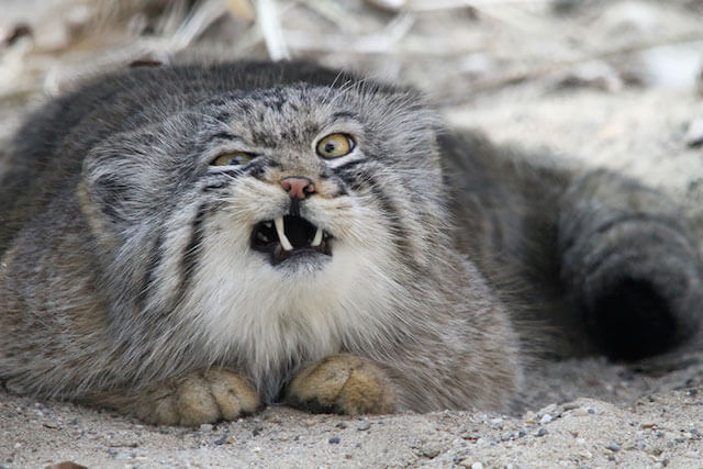 威嚇時に上唇を釣り上げるマヌルネコの写真