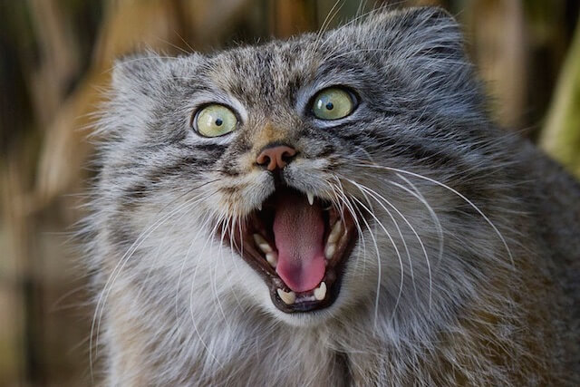 面白い表情を見せるマヌルネコの写真