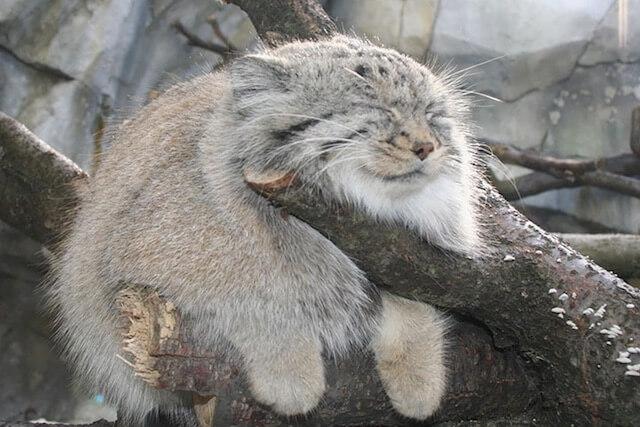 木の上で可愛い顔をして眠るマヌルネコの写真