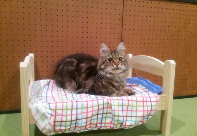 メインクーンのメス猫、「あやの」ちゃん