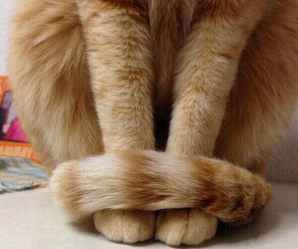 猫が「しっぽマフラー」をしている写真