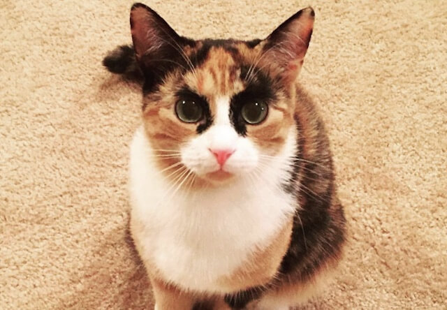 太い眉毛とすごい眼力に圧倒される…!キリッとした表情が凛々しい三毛猫のリリーちゃんが話題に