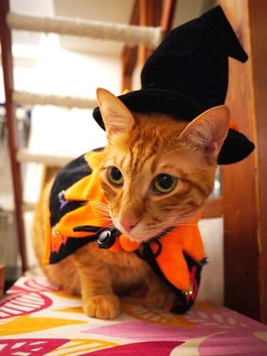 魔女に扮する猫