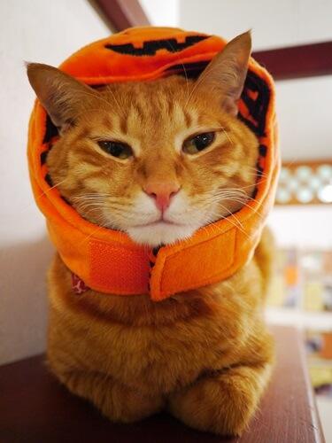 ジャック・オー・ランタンの帽子を被る猫
