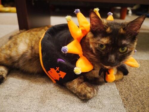 ハロウィンの衣装が気に食わない猫