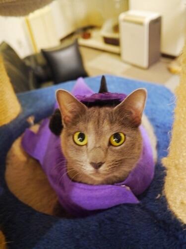紫の衣装でコスプレする猫
