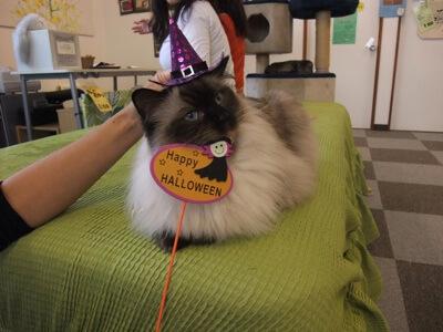 とんがり帽子でハッピーハロウィンな猫