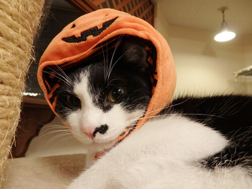帽子を被るとこそ泥っぽく見える猫