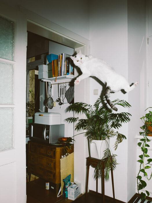 Daniel Gebhart de Koekkoek撮影、落下しながら手を振る猫