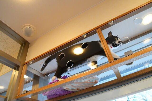下から猫を眺められる「動物病院京都 ねこの病院」のキャットウォーク