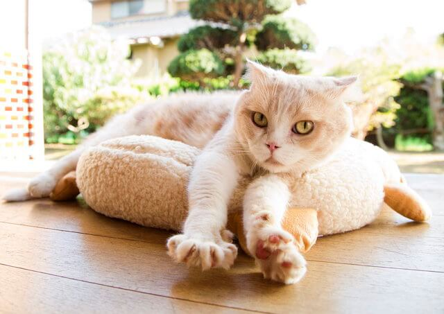 映画ねこあつめの家に出演する猫、シナモン