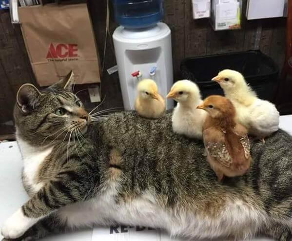 ヒヨコに乗られる猫の写真