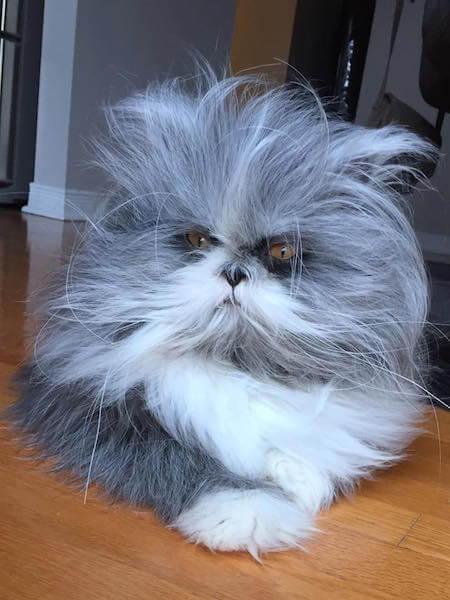 凛々しい顔のペルシャ猫