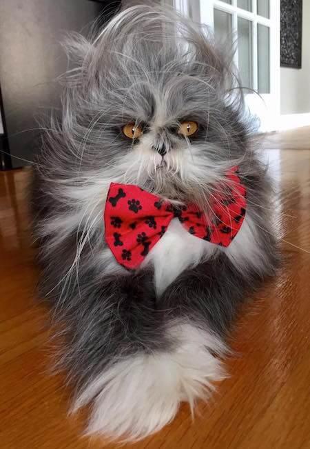 蝶ネクタイを締めて怒っているように見える猫、アチョム(Atchoum)君