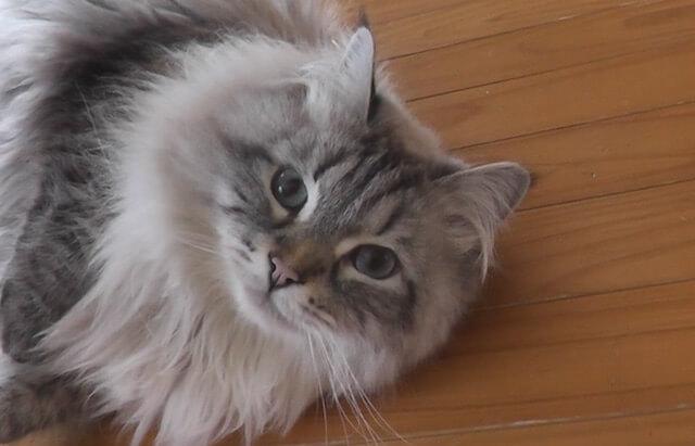 プーチン大統領から贈られたサイベリアン猫「ミール君」の近況写真1