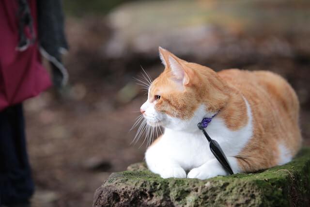 猫忍の主役猫「金時」の忍者写真2