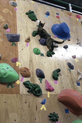ボルタリング中に最善ルートを探す猫