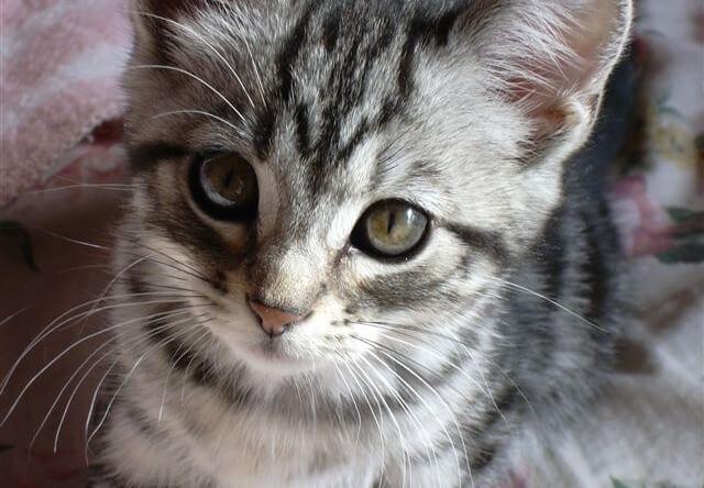 好きな猫種ランキング2016の1位はアメリカンショートヘア