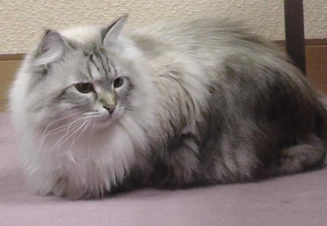 プーチン大統領から贈られたサイベリアン猫「ミール君」の近況写真
