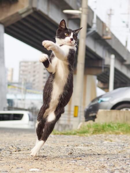 つま先立ちする猫(ネコ写真集「のら猫拳」)