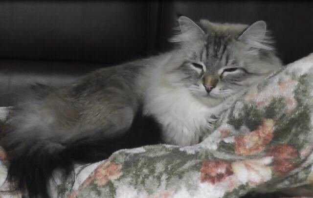 穏やかな表情のプーチン大統領から贈られたサイベリアン猫「ミール君」