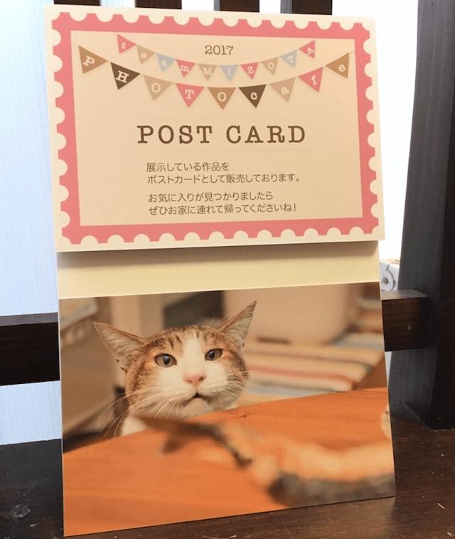 「チームミゾタ」による猫写真のポストカード