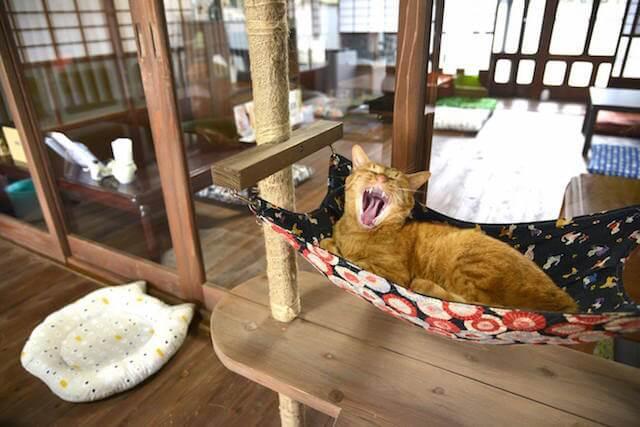 ハンモックであくびする猫カフェ「Cafe Gatto」の猫