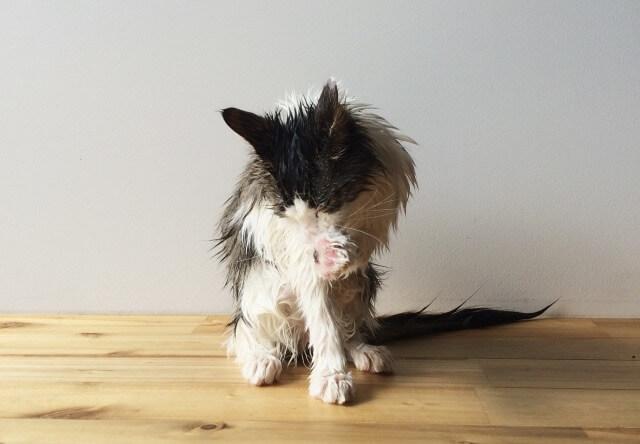 シャンプーした後の濡れ猫の写真